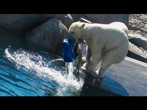Eisbären Lale - Nela - Noordje - Wildland Adventure Zoo Emmen