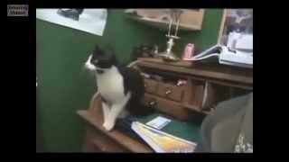 Прыгающие кошки / Jumping cats / Приколы 2014 / Веселые / Забавные / Смешные / Домашние животные