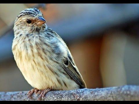 Suara Kicau Burung EDEL SANGER HERDA SANGER