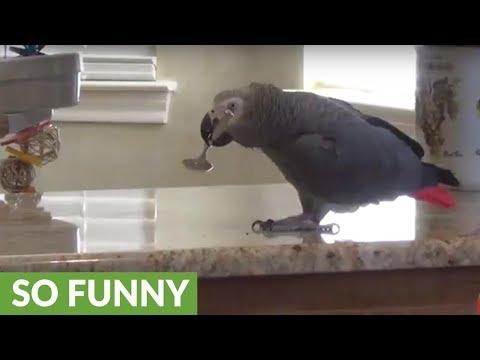 Parrot decides to court kitchen spoon
