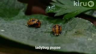 Ladybug larvae eating aphids|Trisha Shirey|Central Texas Gardener