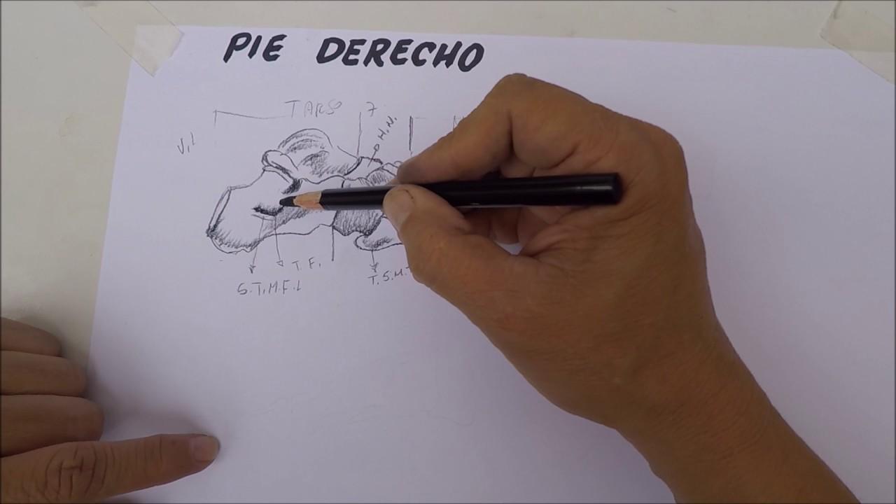 Dibujo de huesos del pie - YouTube