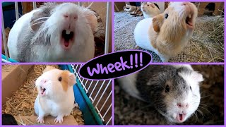 1 hour of guinea pig noises!