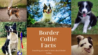 Border Collie Facts   Dogs 101   Tips You Need To Know About Border Collies