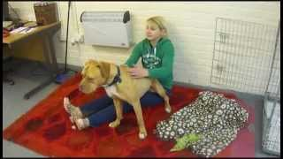 Dogue De Bordeaux Crossbreed Cuddle