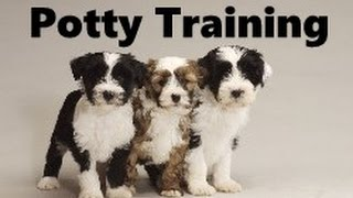 How To Potty Train A Tibetan Terrier Puppy - Tibetan Terrier Training Tips - Tibetan Terrier Puppies
