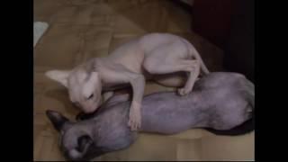 Сфинксы вязка 1 день. Sphynx cat