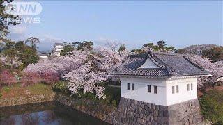 ドローンで見る満開間近の桜と小田原城の競演(20/04/03)