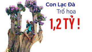 Đang hô bán cây cảnh hình dáng giống con lạc đà, giá 1,2 tỷ đồng II ĐỘC LẠ BÌNH DƯƠNG