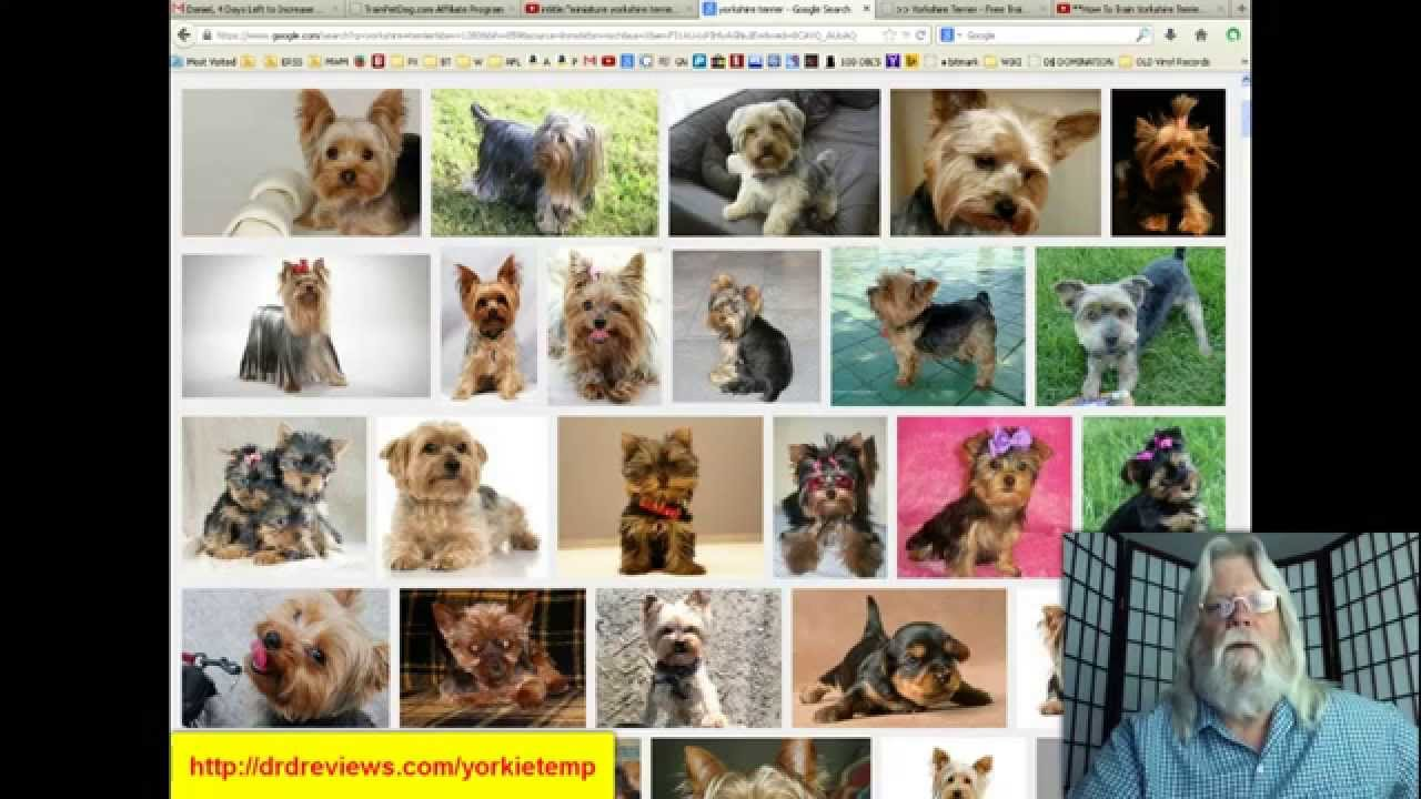 Yorkie Temperament Get To Know Your Yorkies Temperament Youtube