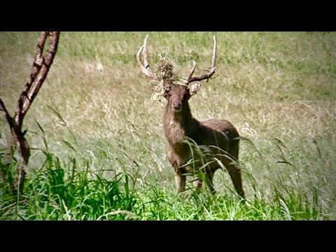 Hunting Rusa deer in New Caledonia part 42