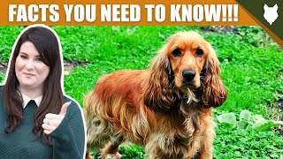 You NEED To KNOW This Before Getting A KING CHARLES SPANIEL