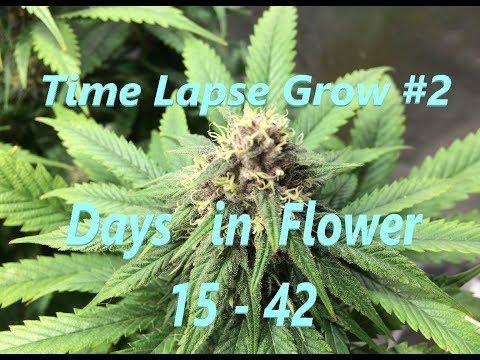 Cannabis Time Lapse Grow #2 - Days 15 to 42 in Flower!