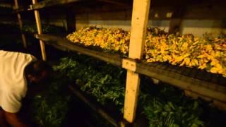 KHMER FARM IN FLORIDA # 3