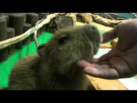 那須どうぶつ王国 - A tame baby capybara あまえるカピバラの赤ちゃん9
