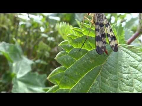 Common scorpionfly (Panorpa communis) - 2013-07-13