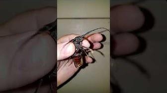 Palo Verde Beetle maricopa az
