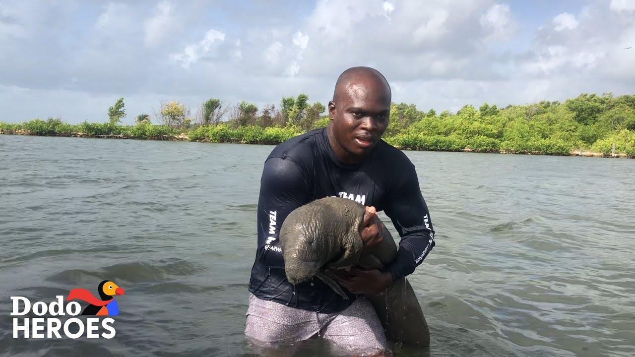 Guy Keeps Saving Baby Manatees | The Dodo Heroes