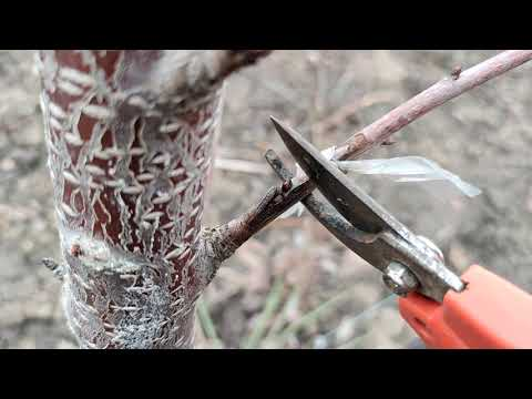 Обрезаем прививки на молодых деревьях. Результат окулировки прошлого года.