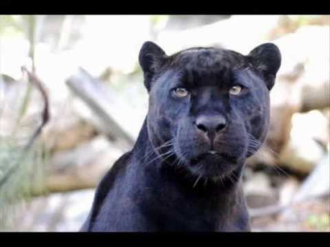com Pumas auf schwarzem