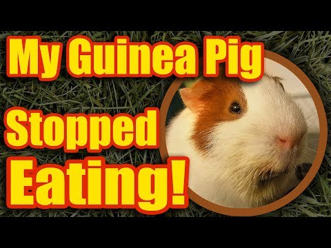 Guinea Pig Stopped Eating
