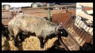 O nouă rasă de oi pentru carne