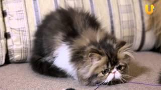 Глазами животных, выпуск 186. Персидская кошка, часть 1