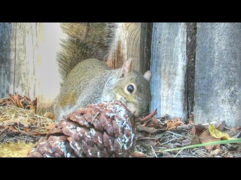 Gray Squirrels Eating Pine Cone Nuts