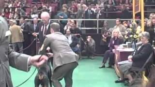 135th Westminster Dog Show- Doberman Pinscher Breed Judging