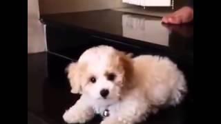 Chú chó lắc lư cái đầu cực yêu VIDEO CLIP   Kenh14 vn