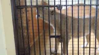 Blijdorp Brullende leeuw