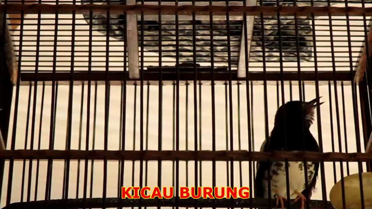 Decu Kembang Trotol Jantan Dan Betina / Panduan membedakan gelatik jawa jantan dan betina - KLUB ...