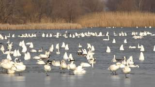 Rondeau Bay Tundra Swans