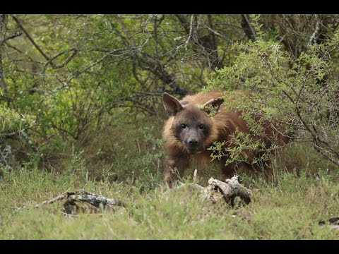 Latest news on the Brown Hyena Project at Shamwari Conservation Experience