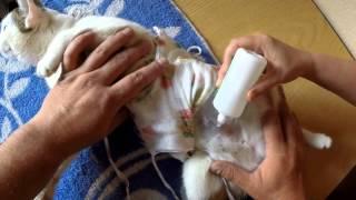 Как обработать шов кошке(http://mybritishcat.ru/ Как обработать шов кошке после стерилизации http://mybritishcat.ru/, 2014-12-22T16:31:29.000Z)