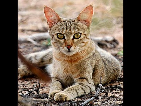 African Wildcat - Healthy Predatory Hunting Behavior In the Wild