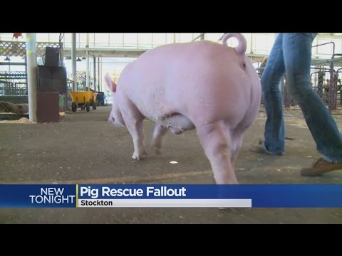 Man Plans Legal Action After Pigs Removed From Delta Island