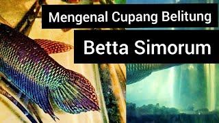 MENGENAL BETTA SIMORUM- CUPANG HUTAN PULAU BELITUNG