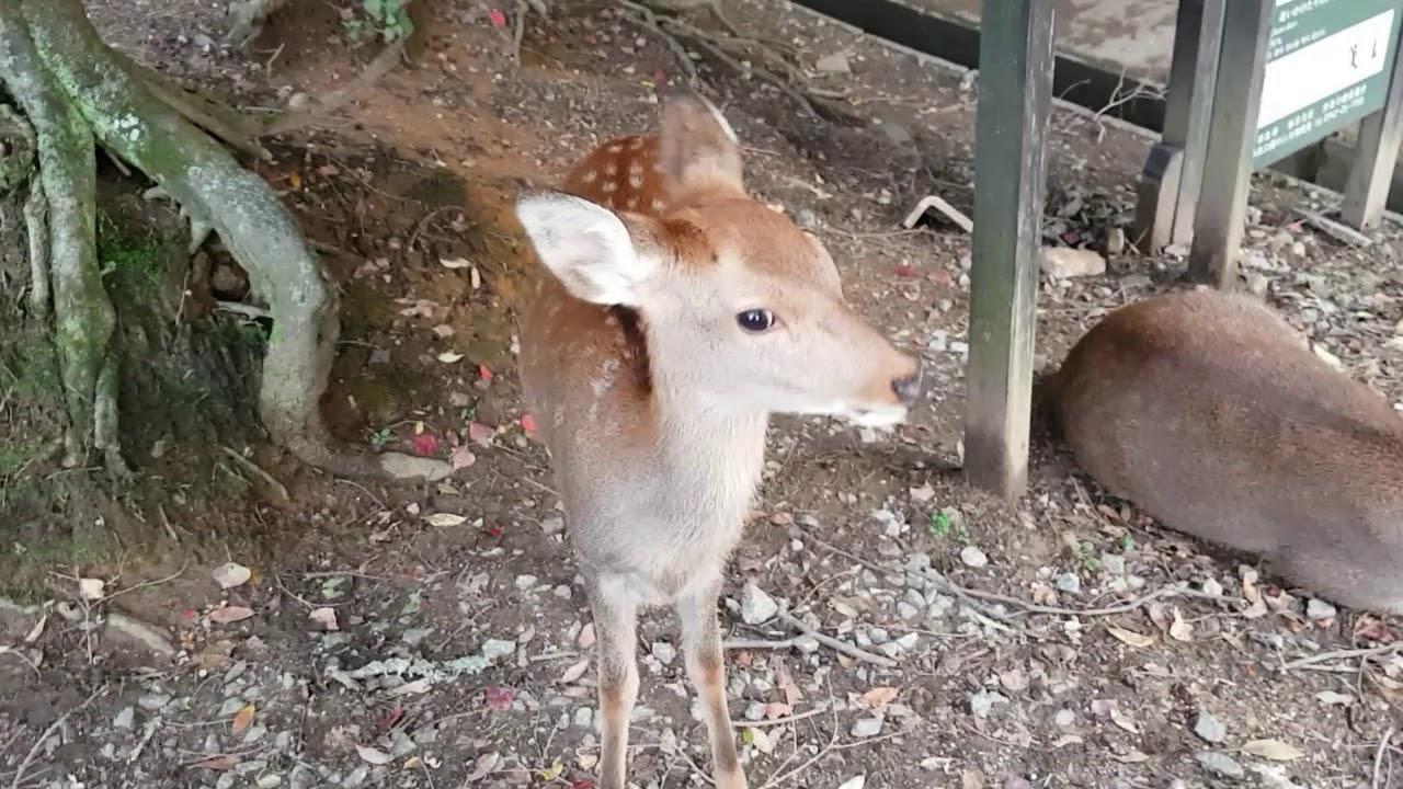 日本大阪奈良公園 | 鹿鹿識得向人鞠躬 - YouTube