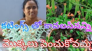 #cutting#plants#NatureGardener//కటింగ్స్ ద్వారా కనకాంబరం మొక్కలు పెంచడం పుదీనా రీపాటింగ్ ఇంకా?