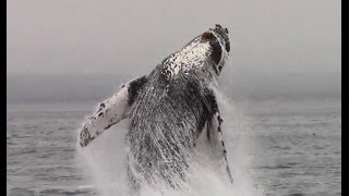 Breaching Humpback Whales #Monterey #Adventure #Travel