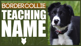 How To Teach Your BORDER COLLIE PUPPY Their Name