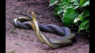 Look how do snakes sex love 2018(new fua)