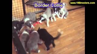Border Collie, Welpen, Für, Verkauf, In, Berlin, Deutschland, Hamburg, München, Köln