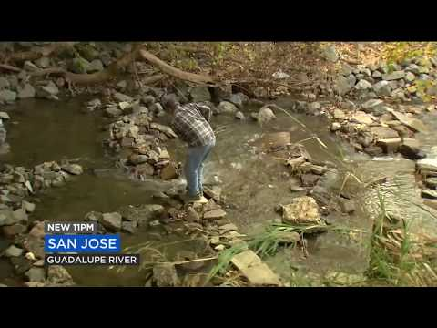 Illegal Salmon Traps Plague San Jose Creeks