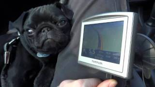 Batman - Pug Puppy.  Funny Reaction To Car Sat Navs Speed Warning