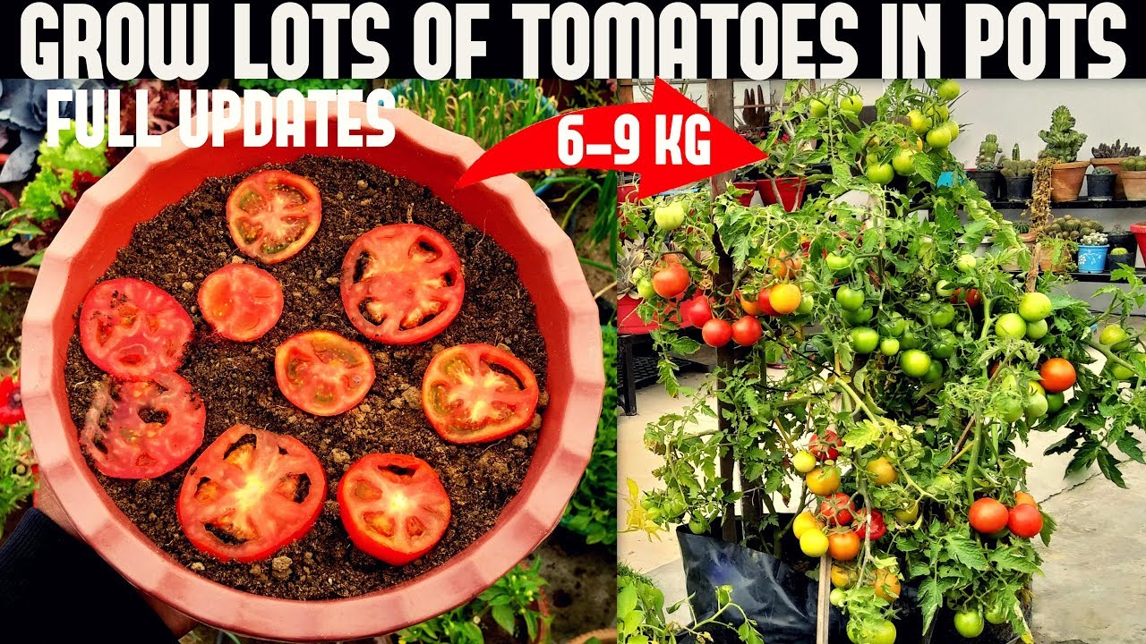 How To Grow Tomatoes At Home Seed To Harvest Youtube
