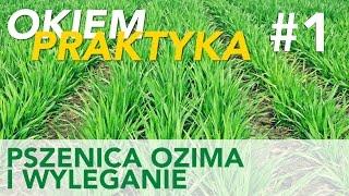 Okiem Praktyka odc. 1 | regulatory wzrostu w pszenicy ozimej