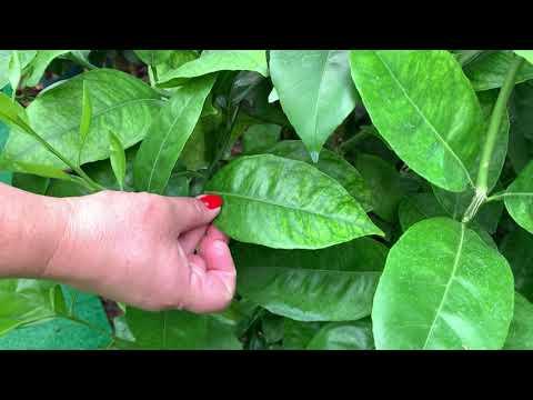 Вопрос: На листьях маракуйи пятна, кто-то знает от чего это, как и чем лечить?