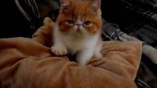 Cute Exotic Shorthair Kitten making his Bed